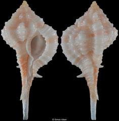 Vokesimurex rubidus (Florida, USA, 23,9mm)