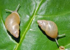 Partula flexuosa (Marau, Solomon Islands)