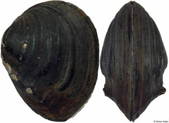 Schistodesmus spinosus (China, 31mm)