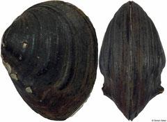 Schistodesmus spinosus (China, 31mm)