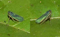 Leafhopper (Cicadellidae sp.), Andasibe, Madagascar