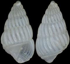 Numaegilina gloria (Philippines, 2,1mm)