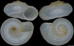 Circulus sp. (Philippines, 4,7mm)