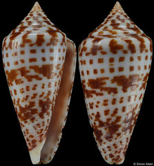 Conus chindeensis (South Africa, 50,1mm)