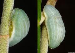 Slug moth (Limacodidae sp.) larva, Bokor Mountain, Cambodia