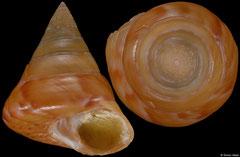 Calliostoma conulus (Italy, 21,0mm)