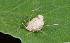 Rose aphid (Aphididae sp) mummy, York, UK