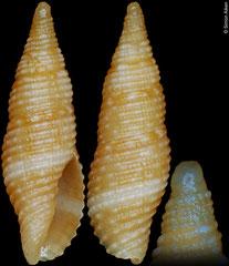 Pseudonebularia oliverai (Philippines, 10,4mm)