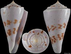 Conus ione (Philippines, 47,1mm) F+/F++ €25.00