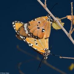 African monarchs (Danaus chrysippus), Ifaty-Mangily, Madagascar