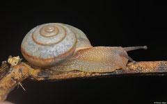 Helminthoglypta allyniana (N of Polo, Dominican Republic)