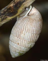 Cerion moralesi x geophilus (Playa de Morales, Holguín, Cuba) (possible hybrid form)