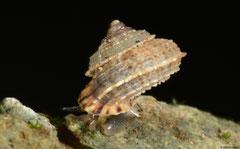 Abbottella gabbi (SW of El Limón, Dominican Republic)