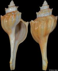 Nodulotrophon coronatus (Alaska, USA, 37,7mm)