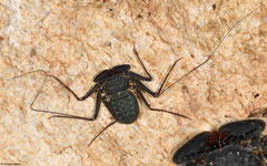 Tail-less whip scorpion (Phrynus hispaniolae), N of Pedernales, Dominican Republic
