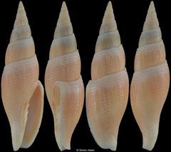 Calcimitra christinae (Philippines, 65,5mm)