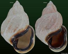 Auris melanostoma (Brazil, 47,0mm, 45,6mm)