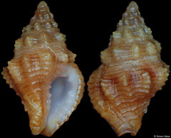 Engina ignicula (South Africa, 8,8mm) F+++ €5.50 (specimens for sale are 8-9mm and are of the same quality as the specimen illustrated)