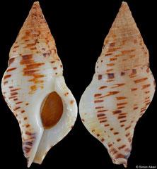 Euthria calypso (Cape Verde, 43,0mm) F+/F++ €30.00