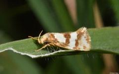 Concealer moth (Prepocosma schalidota), Broome, Western Australia