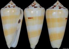 Conus gubernator cf. form 'leehmani' (Laccadives, 61,0mm)