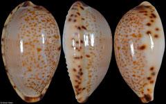 Cypraea declivis form 'dennyorum' (Tasmania, Australia, 20,7mm)