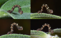 Geometer moth (Geometridae sp.), Broome, Western Australia