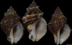 Thaisella kiosquiformis (Pacific Panama, 39,9mm, 42,5mm, 39,1mm) F+++ €5.00