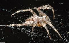 European garden spider (Araneus diadematus), York, UK
