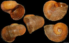 Torellia mirabilis (Weddell Sea, Antarctica, 30,0mm)