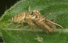 Jumping spider (Salticidae sp.), La Talanquera, Samaná peninsula, Dominican Republic
