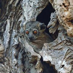 Sportive lemur (Lepilemur sp.), Ifaty-Mangily, Madagascar