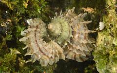 Meganipha rhecta (E of Gurabito de Yaroa, Dominican Republic)