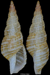 Daphnella sp. (Philippines, 10,1mm)