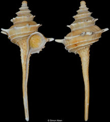 Columbarium hedleyi (New South Wales, Australia, 56,9mm)