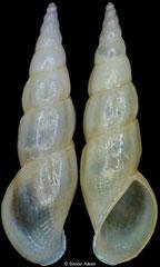 Rissoa auriscalpium (Spain, 7,4mm)