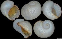 Cyathermia naticoides (East Pacific Rise, 6,9mm)