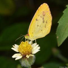 Little yellow (Pyrisitia lisa), Palmerito, Samaná peninsula, Dominican Republic