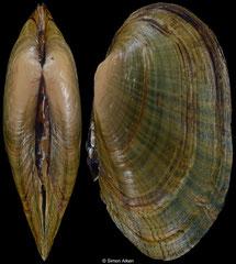 Venustaconcha ellipsiformis (Illinois, USA, 50,8mm)