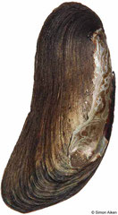 Anodontites tenebricosa colombiensis (Brazil, 68mm)