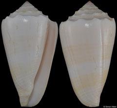 Conus marmoreus 'suffusus' (New Caledonia, 52,5mm) F+/F++ €26.00
