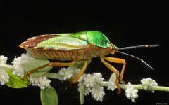 Shield bug (Pentatomidae sp.), Samal Island, Philippines