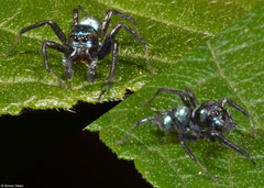 Metallic jumping spider (Cosmophasis sp.), Nha Trang, Vietnam