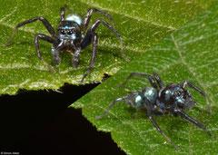 Metallic jumping spider (Cosmophasis sp.), Nha Trang, Vietnam