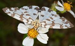 Magpie moth (Nyctemera adversata), Kasi, Vientiane Province, Laos