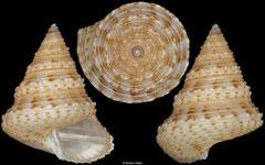 Calliostoma pulchrum (Bahamas, 11,1mm)