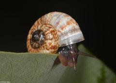 Cyclotus gassiesianus (Phnom Chhngauk, Kampot Province, Cambodia)