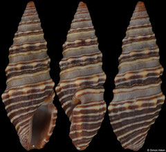 Pilsbryspira bacchia (Pacific Mexico, 15,4mm)