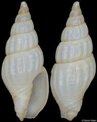 Austromitra aikeni (South Africa, 10,2mm) F+ €19.00