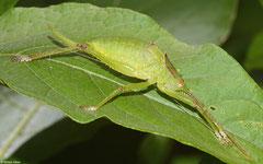 Katydid (Polyancistrus serrulatus), La Cumbre, Dominican Republic